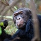 Chimpanzee male, Pan troglodytes, Mahale Mountains National Park, Tanzania, East Africa