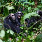 Chimpanzees, males, Pan troglodytes, Mahale Mountains National Park, Tanzania, East Africa