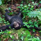 Chimpanzee relaxing, Pan troglodytes, Mahale Mountains National Park, Tanzania, East Africa
