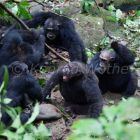 Male Chimpanzees fighting, Pan troglodytes, Mahale Mountains National Park, Tanzania, East Africa