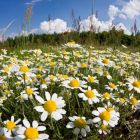 flowering meadow with camomile, Anthemis arvensis, East Slovakia, Europe